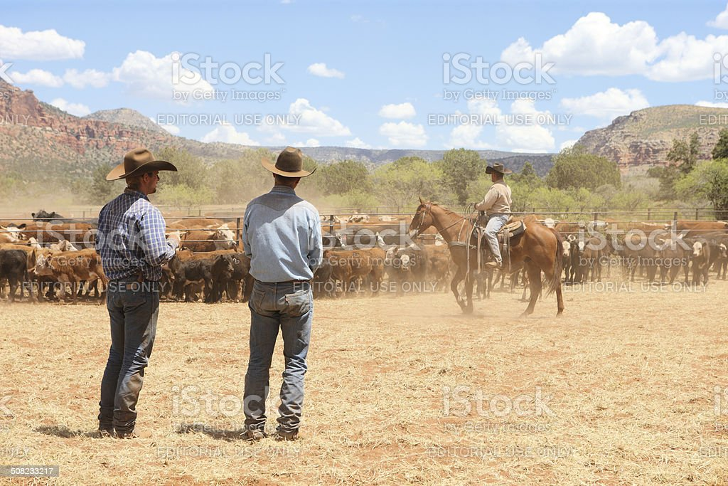 Cowboys Herding Branding Cattle stock photo