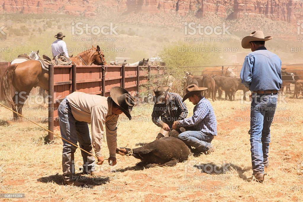 Cowboys Lassoing Branding Neutering Cattle royalty-free stock photo