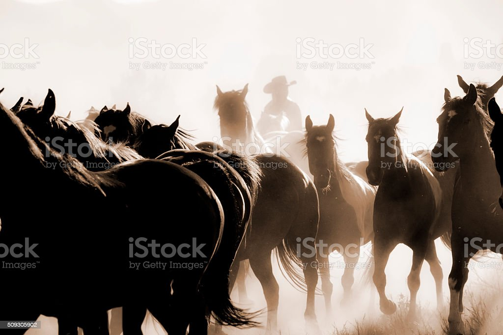 Cowboys: Male wrangler herds horses. Horseback riding. Ranch life. Sepia. stock photo