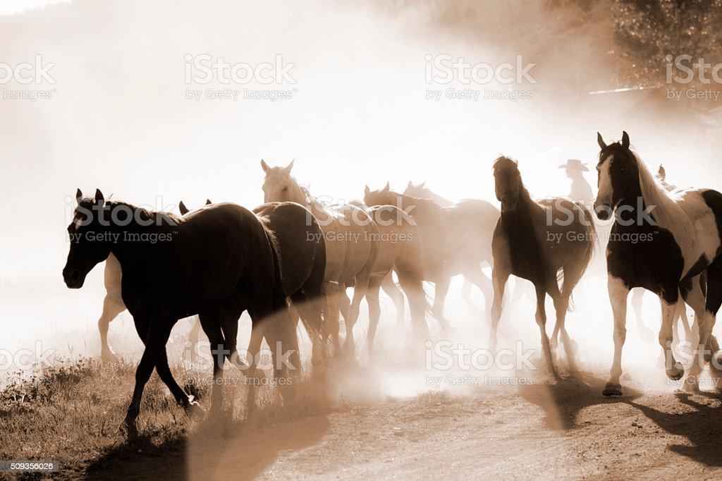 Cowboys: Male wrangler herds horses. Horseback riding. Ranch life. Sepia. stock photo