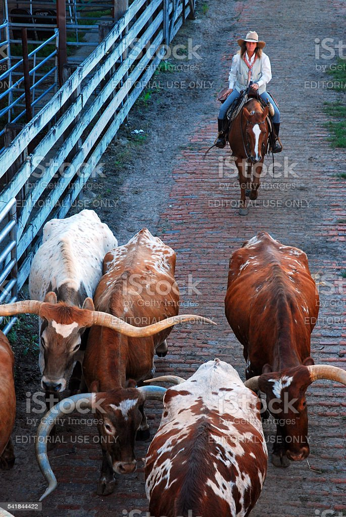 Cowgirl on a cattle drive stock photo