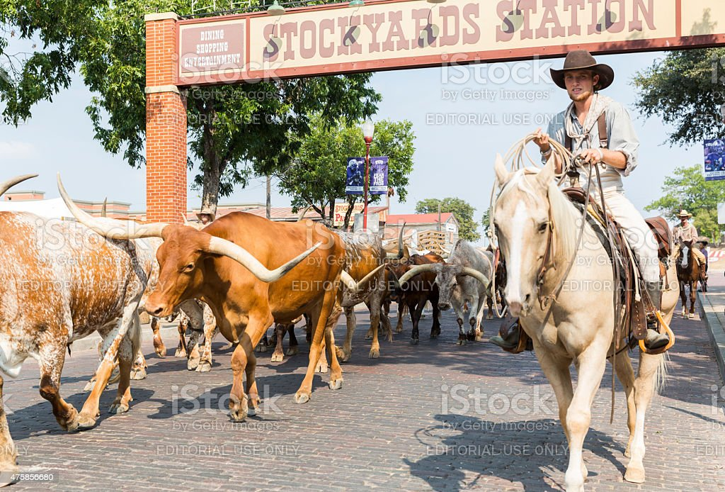 Cowhands Drive Texas Longhorn Cattle in the Stockyards Historic District stock photo