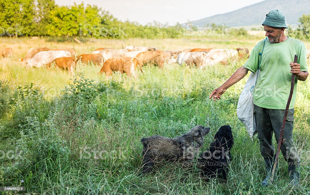 cowherd, dogs and cows stock photo