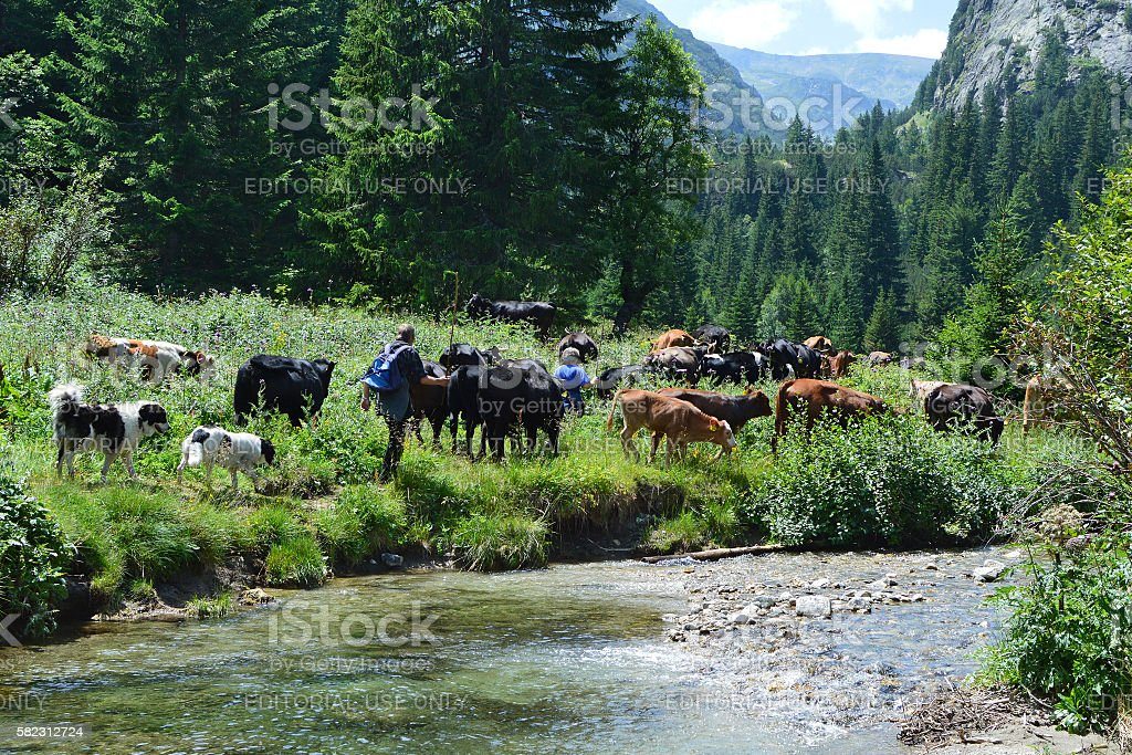 Cowherds with cattle in mountain stock photo