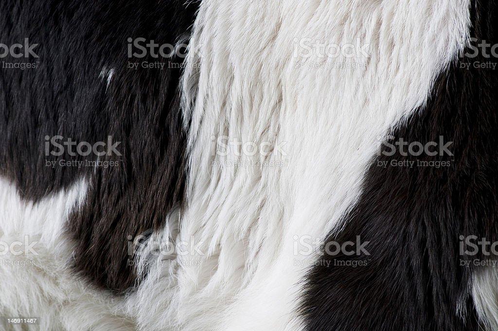 Cuir de vache de veau photo libre de droits