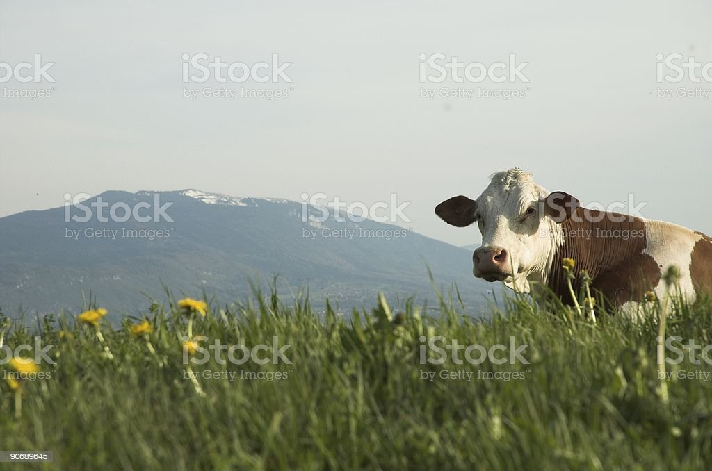 Cown laying down stock photo
