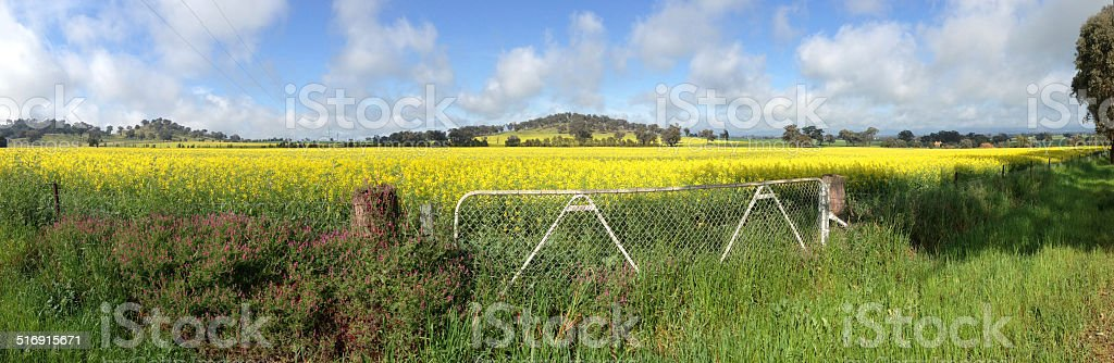 Cowra Canola Field Panorama stock photo