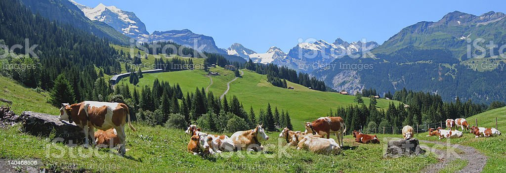 Cows above Wengen royalty-free stock photo