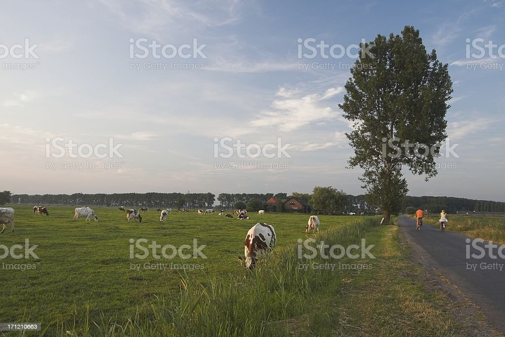 Cows and biking in Holland stock photo