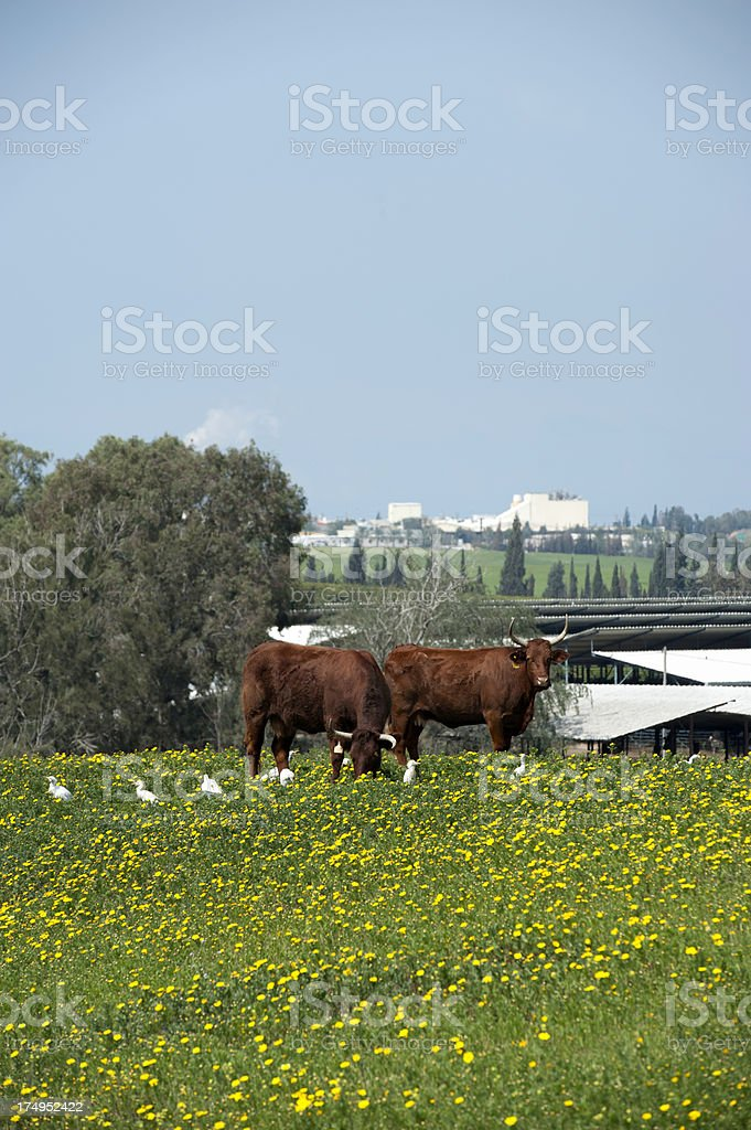 Cows and Birds stock photo