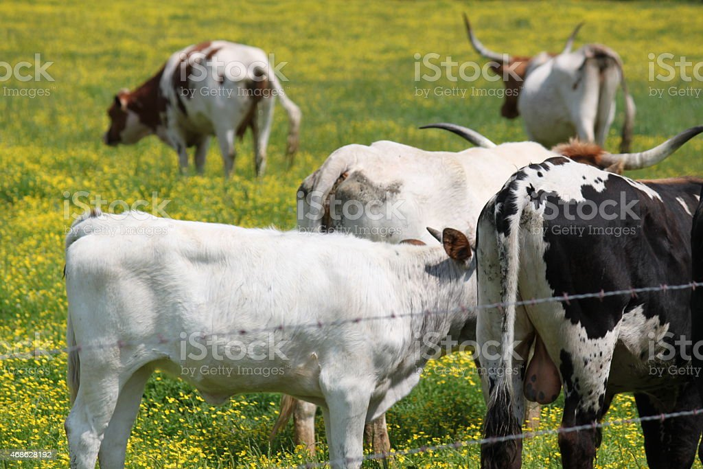 Cows and Bulls in a field of yellow wildflowers stock photo