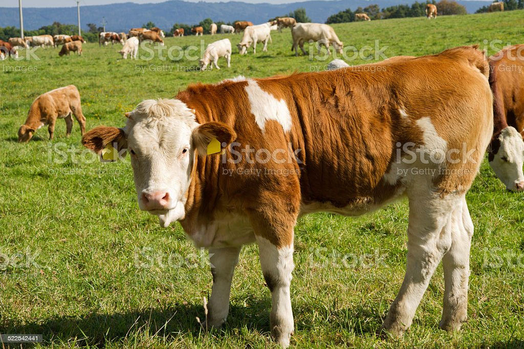 Cows and bulls in pasture stock photo
