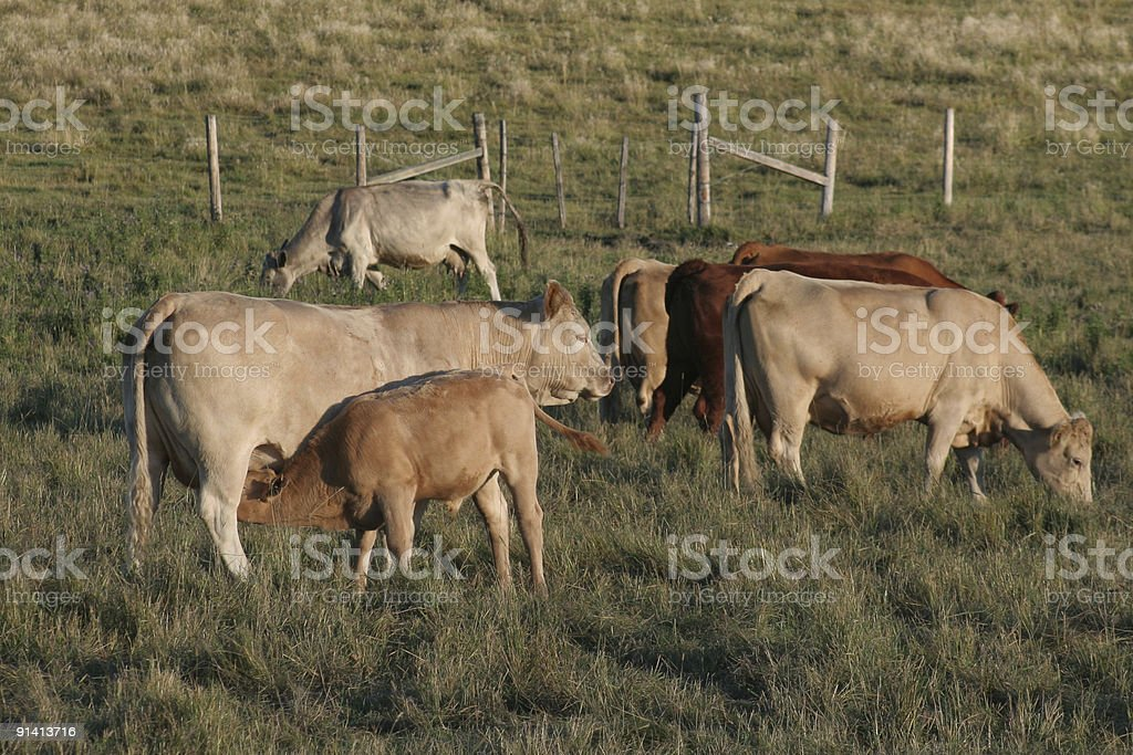 Cows and Calves on a ranch stock photo