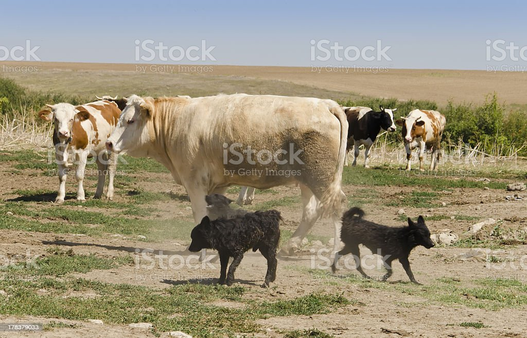 cows and dogsl royalty-free stock photo