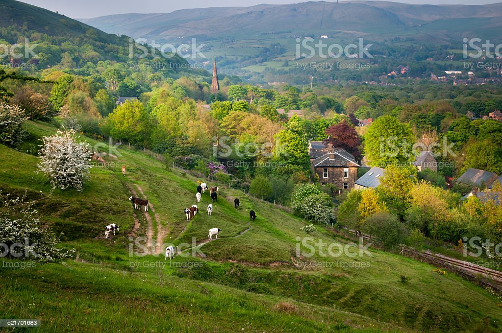 Cows and Farm stock photo