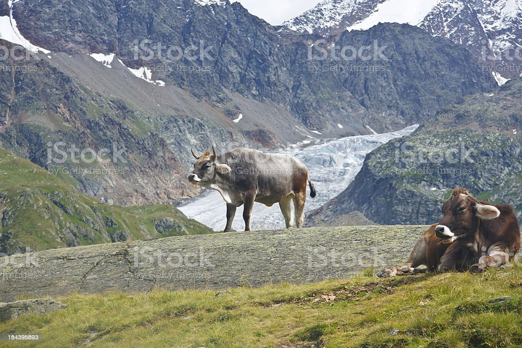 Cows and Glacier, Austrian Alps royalty-free stock photo