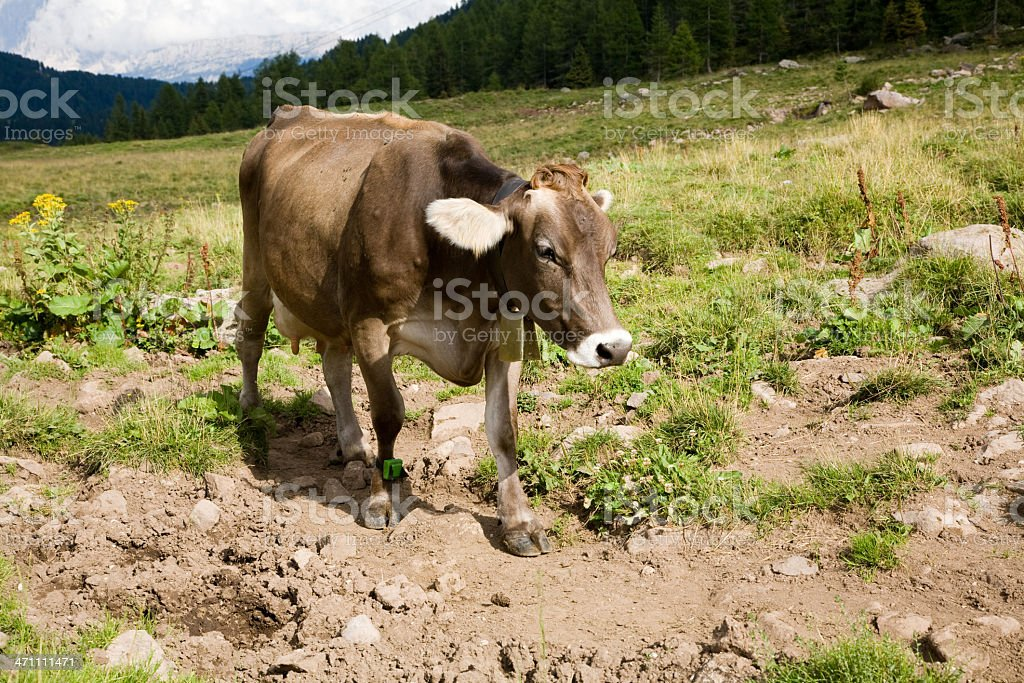 Cows and mountains stock photo