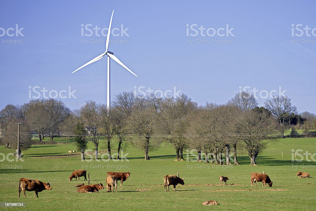 Cows and wind turbine in the meadow stock photo