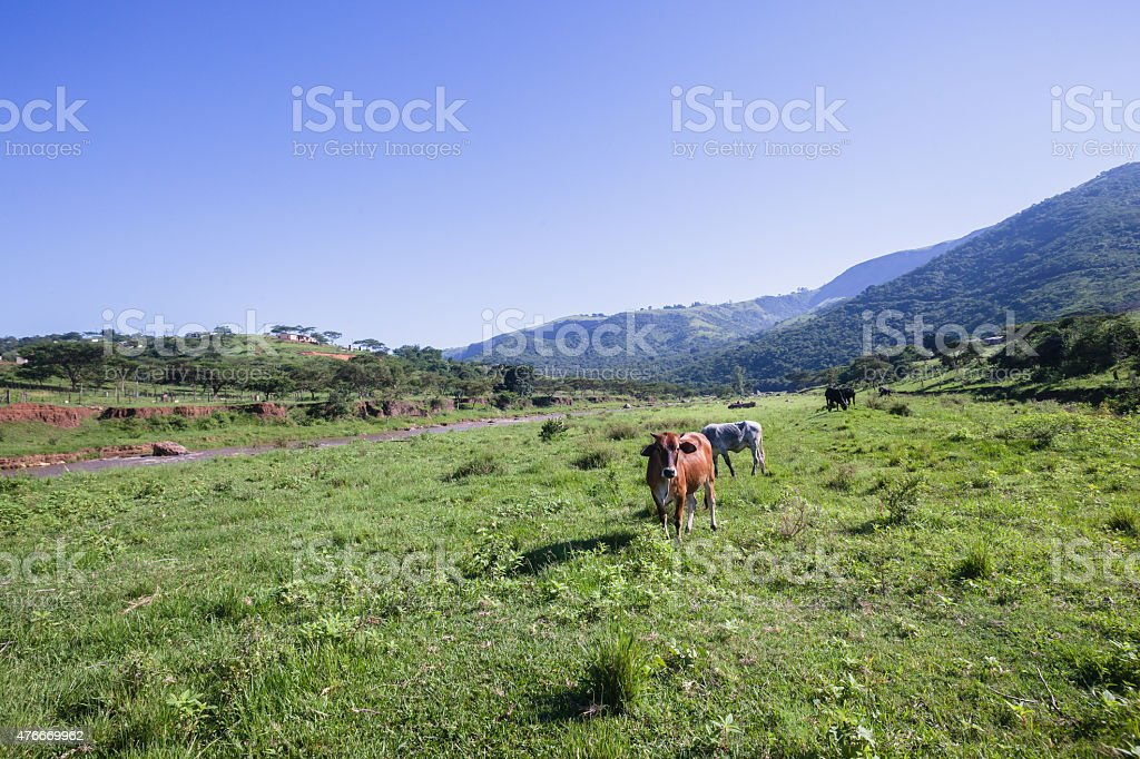 Cows Animals Valley stock photo