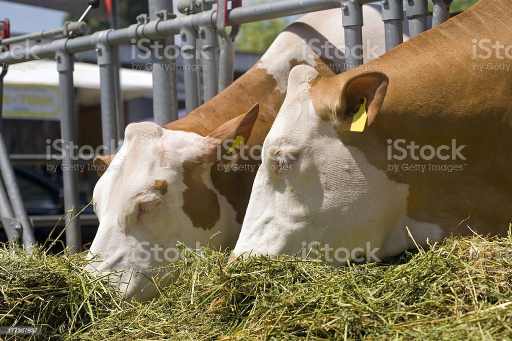 Cows are feeding royalty-free stock photo