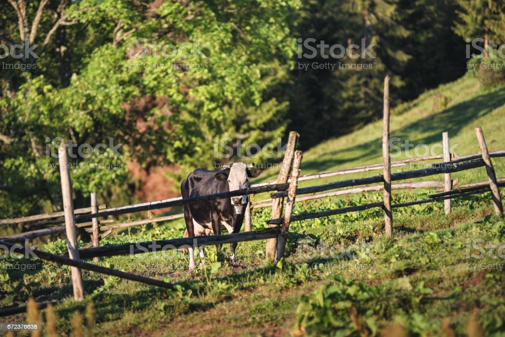 Cows at a mountain flank on a pasture in summer. Corral with cows at mountains. Pasturage of livestock on a mountain hill. stock photo