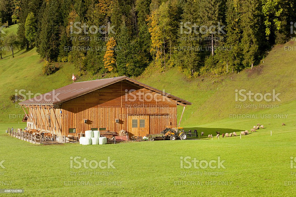 cows at barn in autumn landscape, Bernese Oberland Switzerland royalty-free stock photo