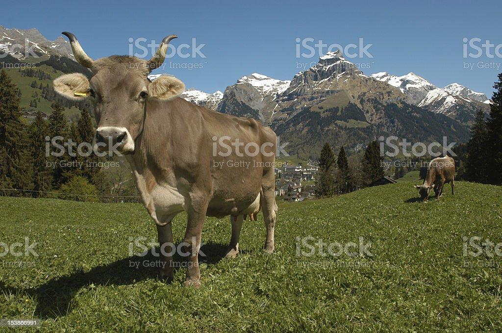 Cows at Engelberg stock photo