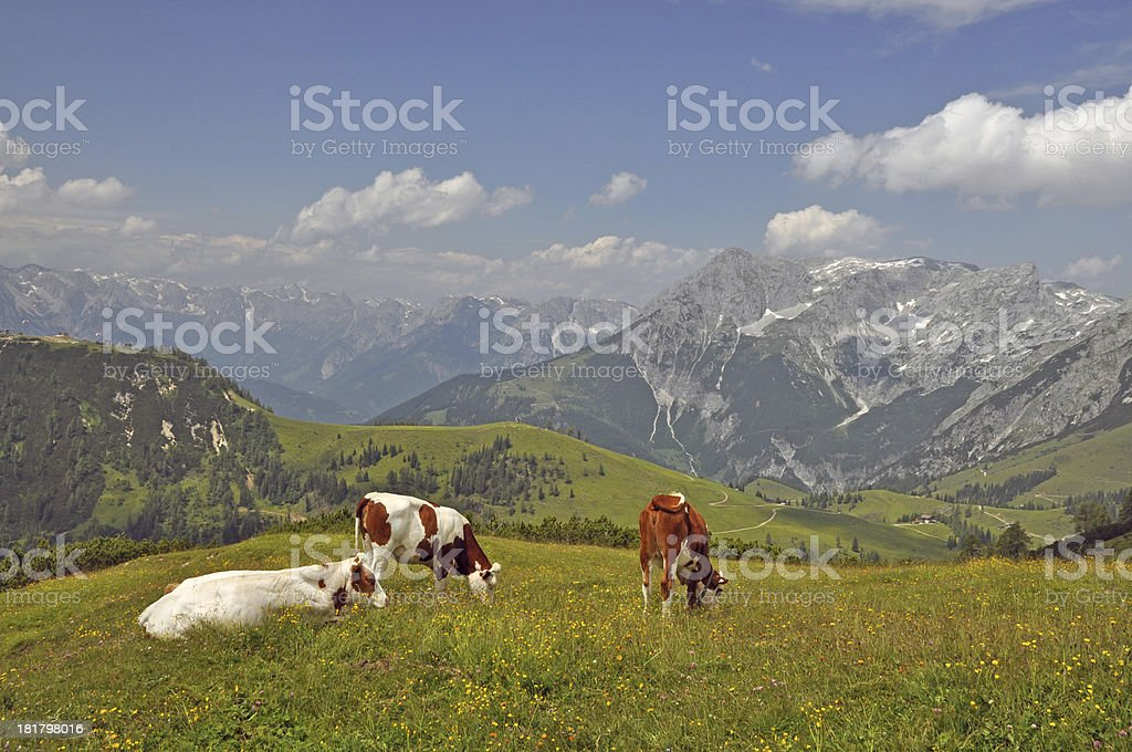 Cows at Frommerkogel, Austria stock photo