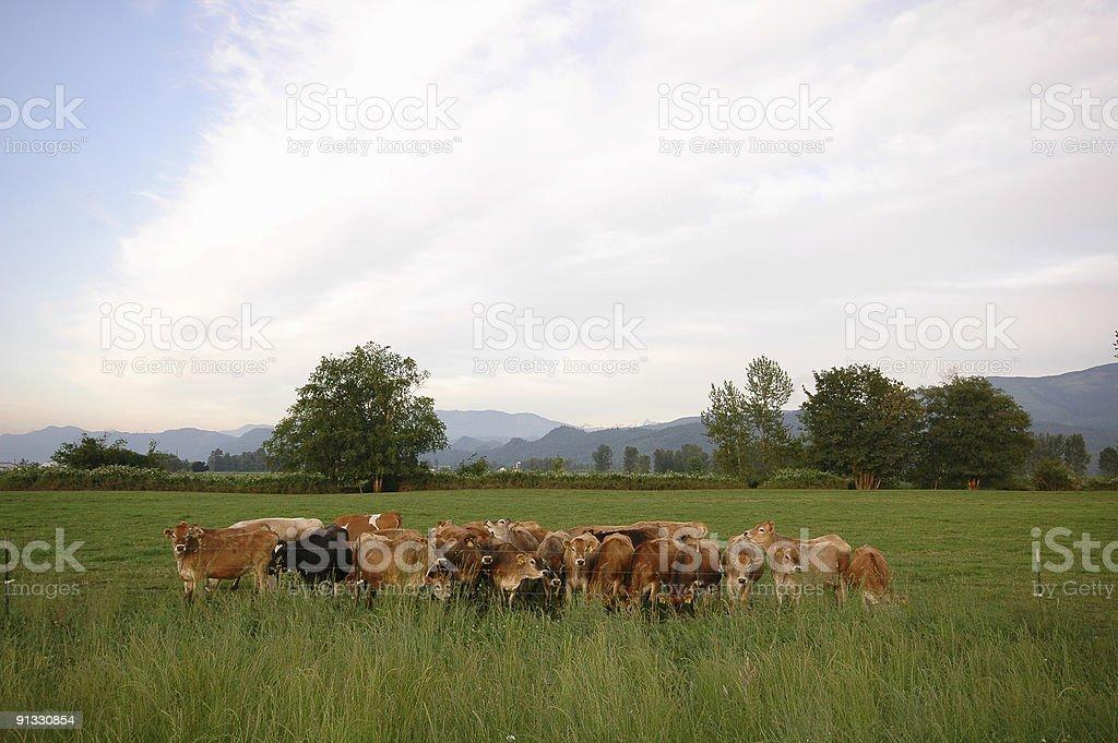 Cows at Pasture stock photo