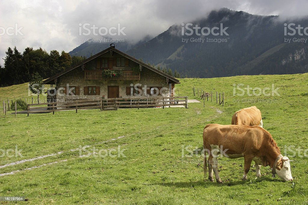 cows at the alps royalty-free stock photo