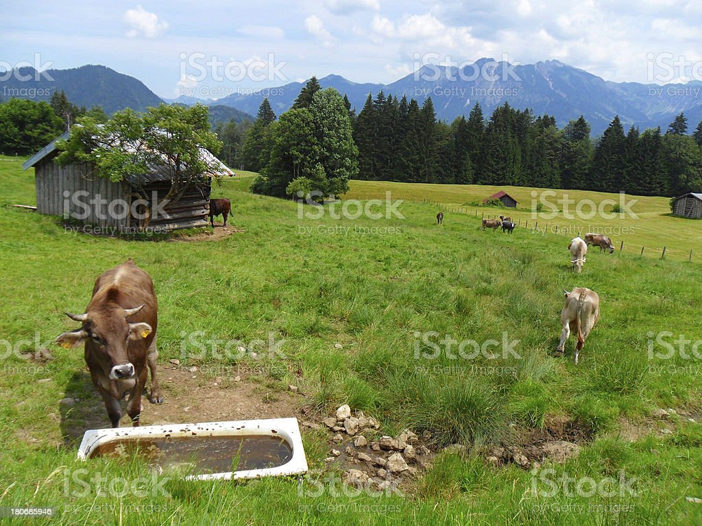 Cows at the farm royalty-free stock photo