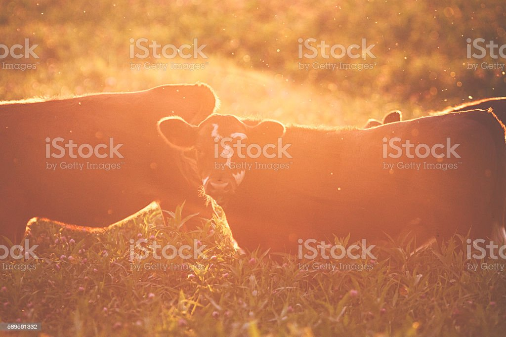 Cows at the meadow against sunset stock photo