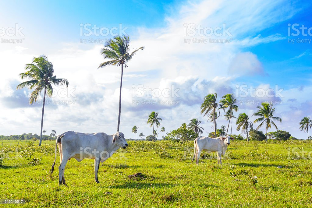 Cows at the pasture stock photo