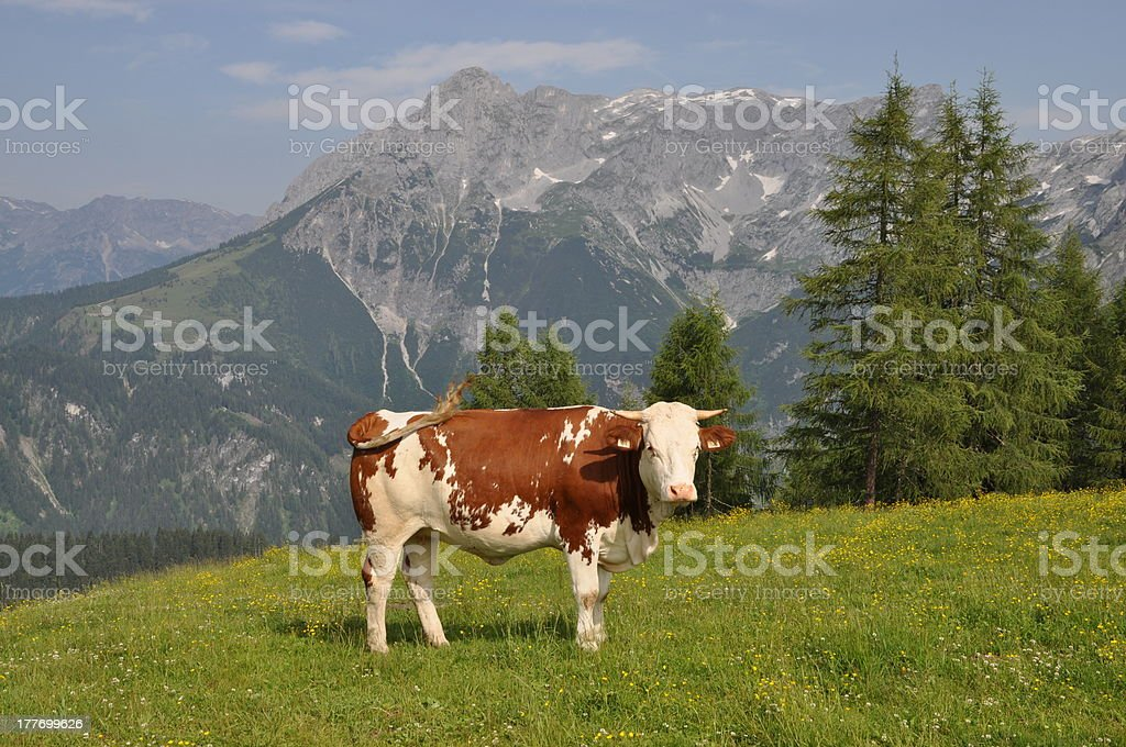 Cows at Werfenweng, Austria stock photo