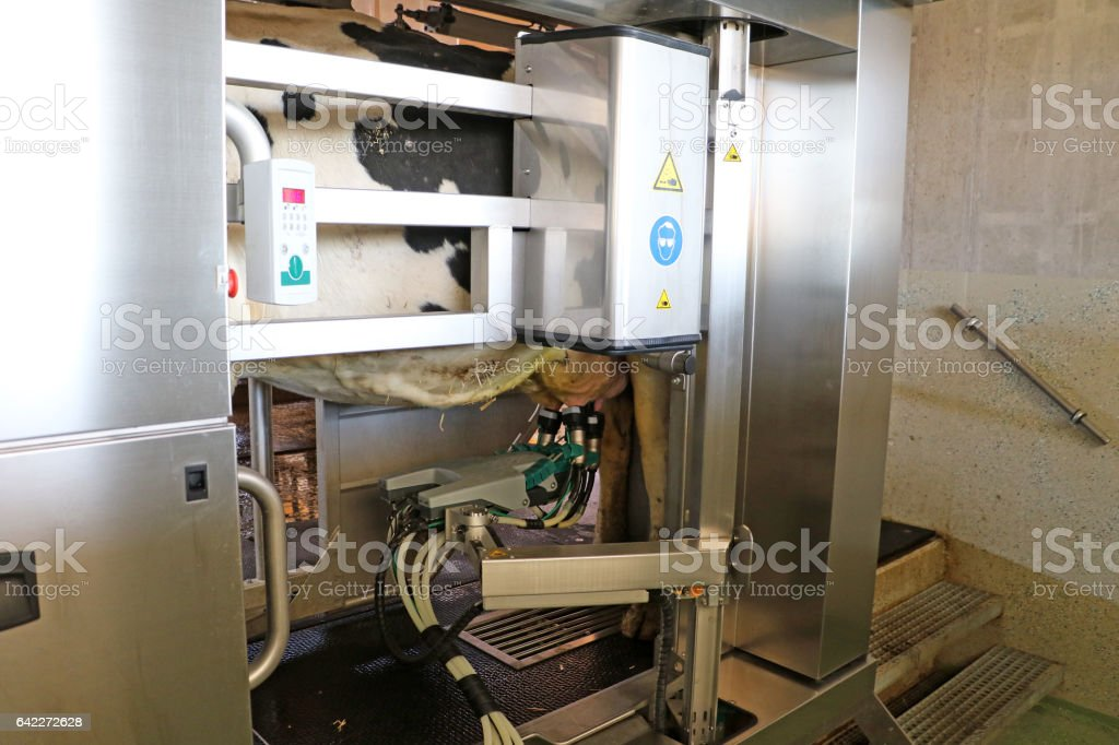 Cows Automated Milk System stock photo
