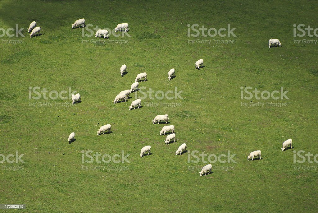Cows background royalty-free stock photo