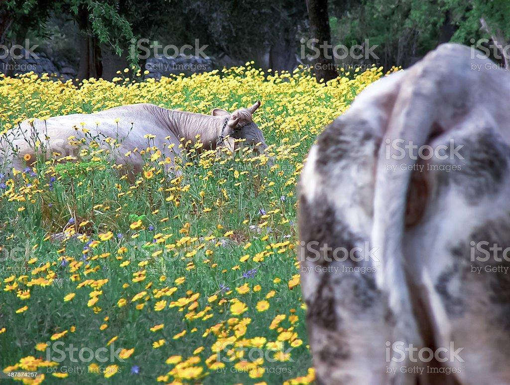Cows between wild vegetation. stock photo