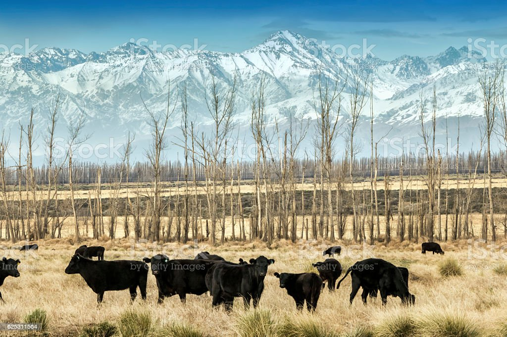 Cows breeding in Patagonia stock photo