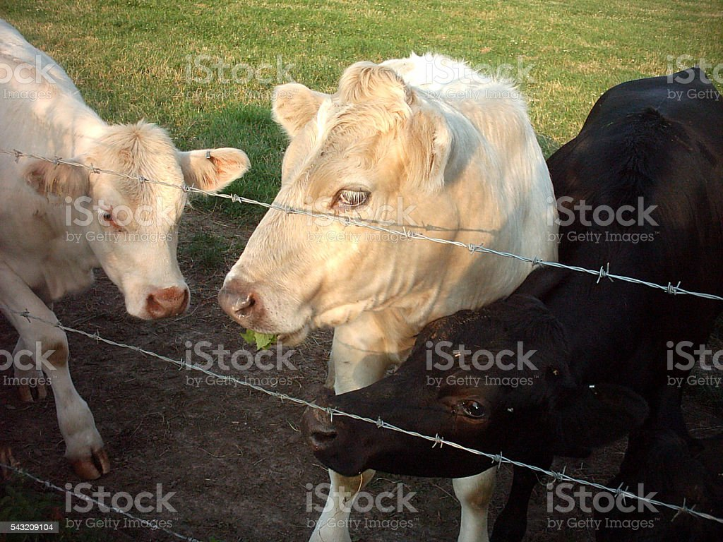 cows by a fence stock photo