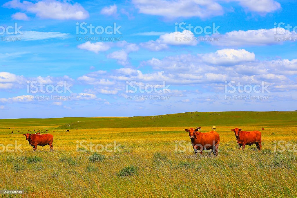 Cows – cattles at farm, pampa countryside landscape, southern Brazil stock photo