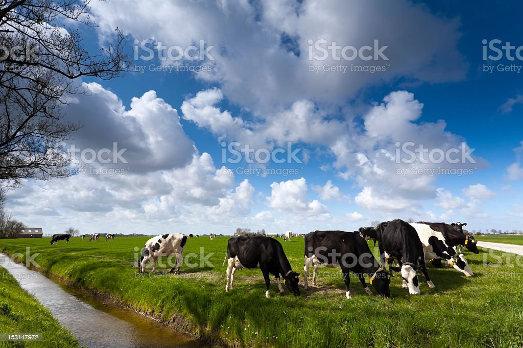 Cows chewing grass on a green meadow royalty-free stock photo