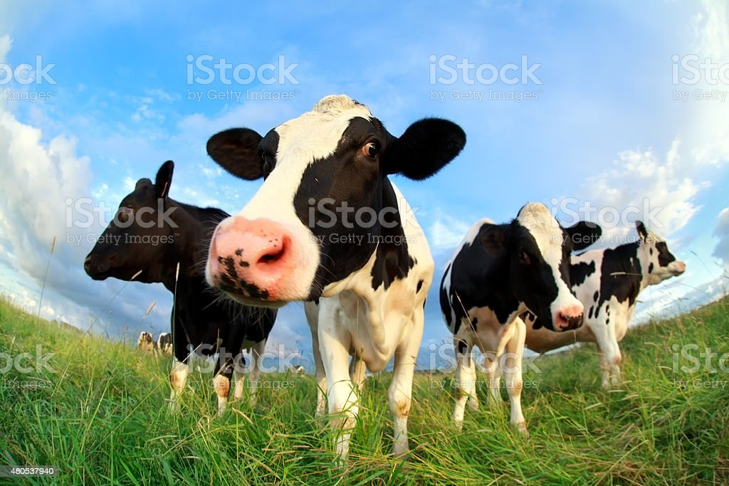 cows close up on pasture stock photo