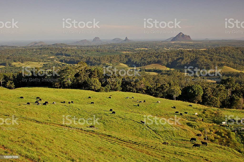 Cows come home royalty-free stock photo