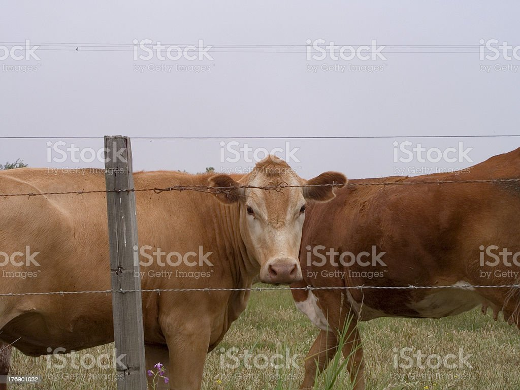 Cows Coming and Going stock photo
