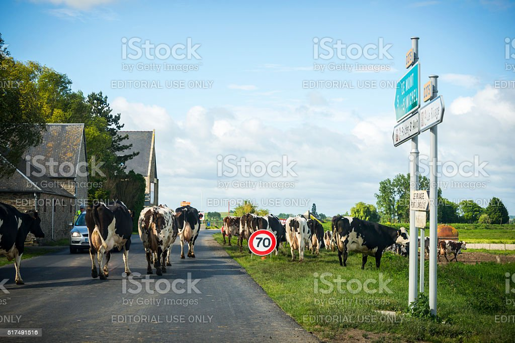 Cows crossing road in Normandy, France stock photo