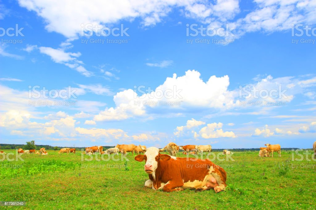 Cows cud on farm land stock photo