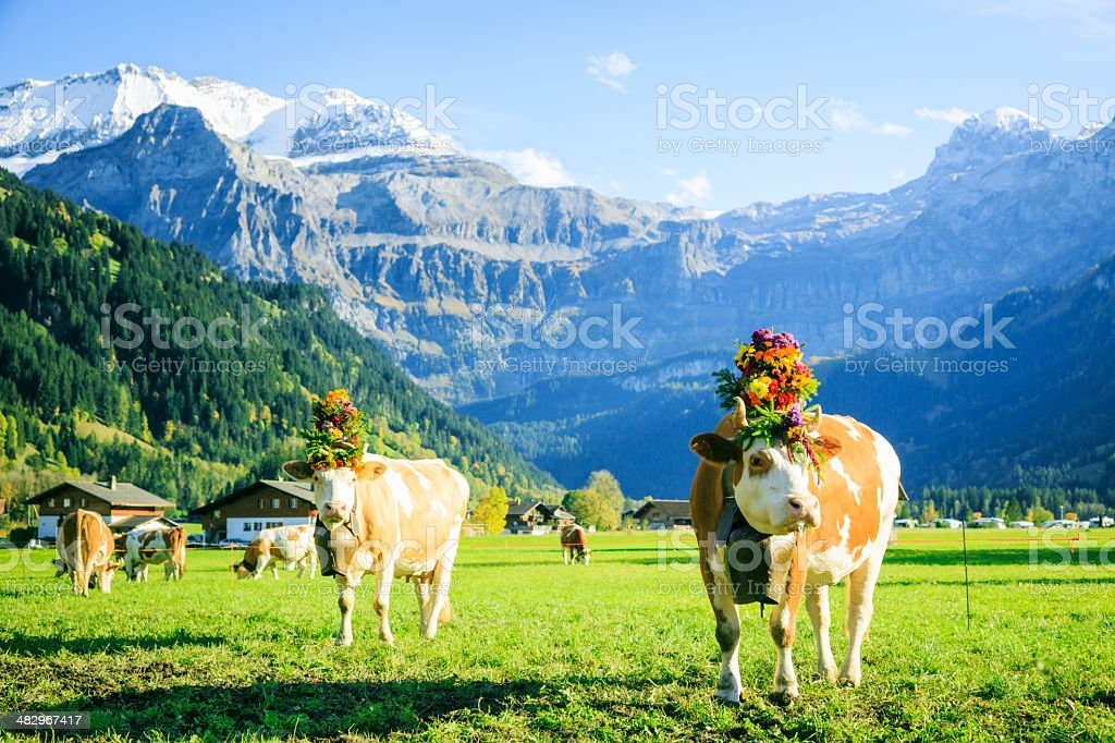 cows decorated for the aelplerfest royalty-free stock photo