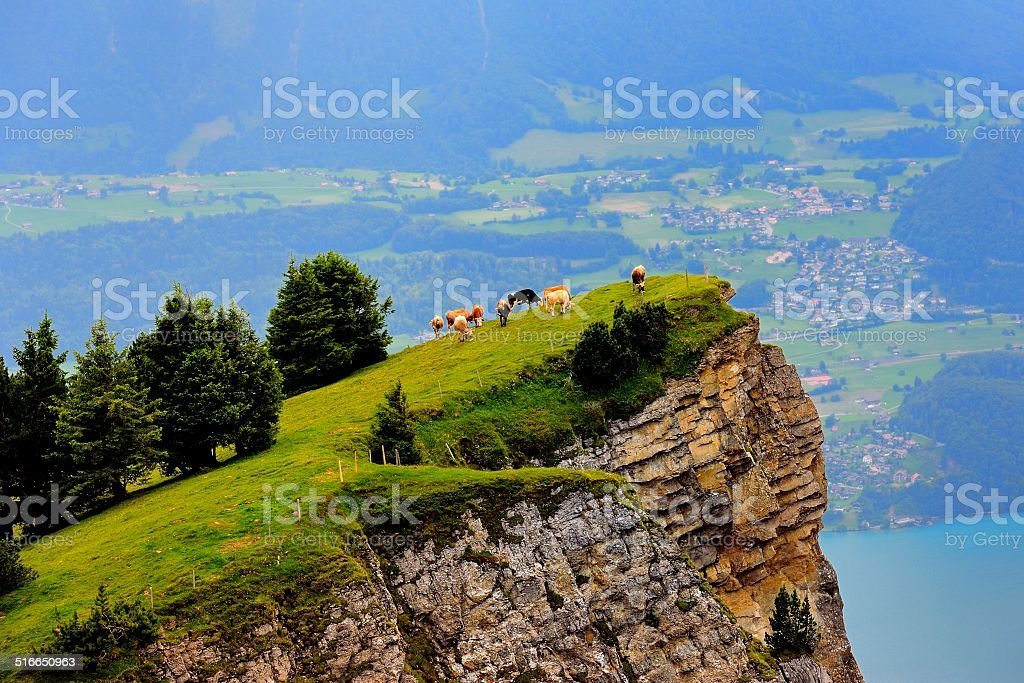 Cows eat grass on the cliff stock photo