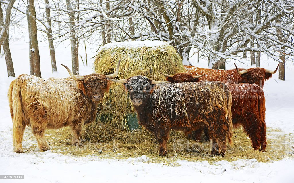 Cows Eating Hay in Snow royalty-free stock photo