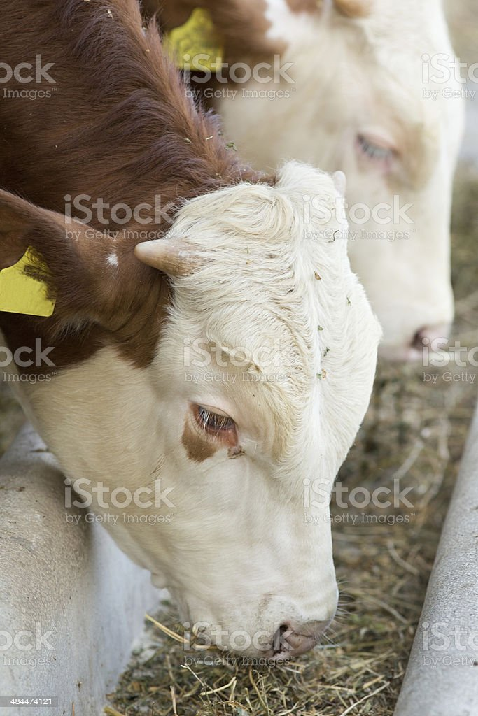 Cows eating hay stock photo